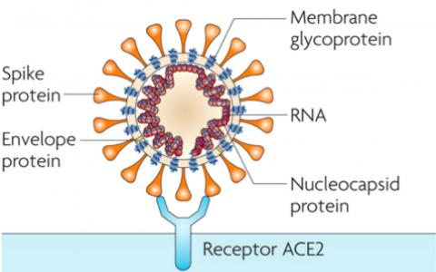 COVID19新型冠状病毒治疗靶点和抑制剂