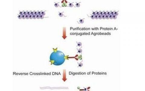 染色质免疫共沉淀技术ChIP实验原理和方法