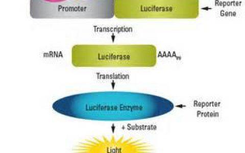 Luciferase报告基因系统