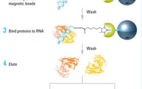 RNA-蛋白互作:Pull-Down实验