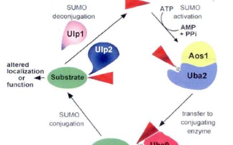 SUMO化在蛋白翻译修饰中的作用和机制