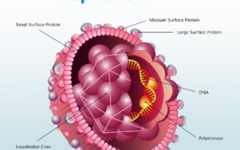 乙型肝炎病毒免疫学诊断技术和原理