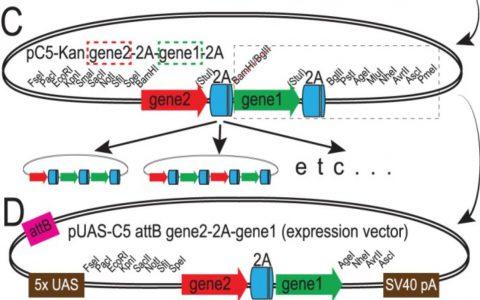 2A肽在蛋白表达中的应用和序列