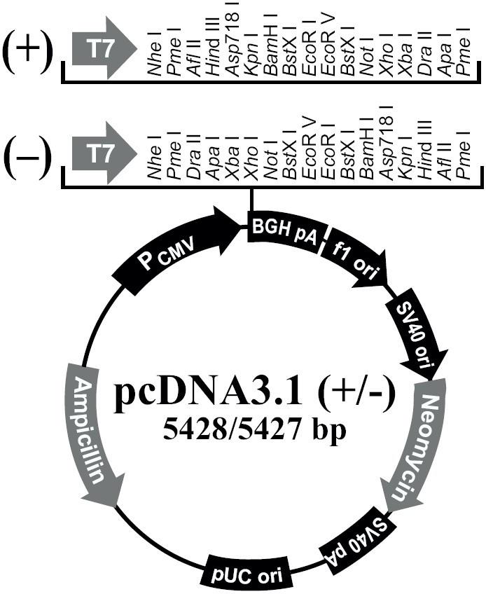 pcDNA3.1(+/-)载体介绍和序列